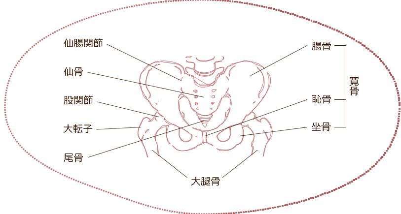 骨盤の構成